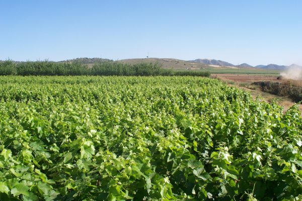 Vivero de viña injertada en diferentes variedades y portainjertos. Rincón del Moro (Hellín).