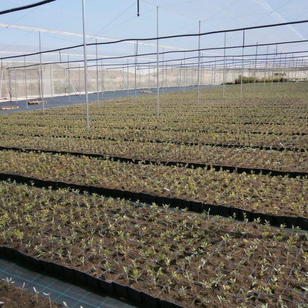 Invernadero de olivo cultivado al exterior en mayo de 2016