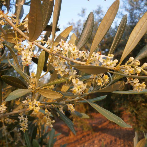 Olivo Benizar en floración.