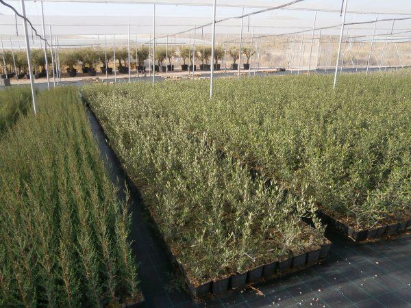 Olivo cultivado al exterior bajo invernadero de malla.