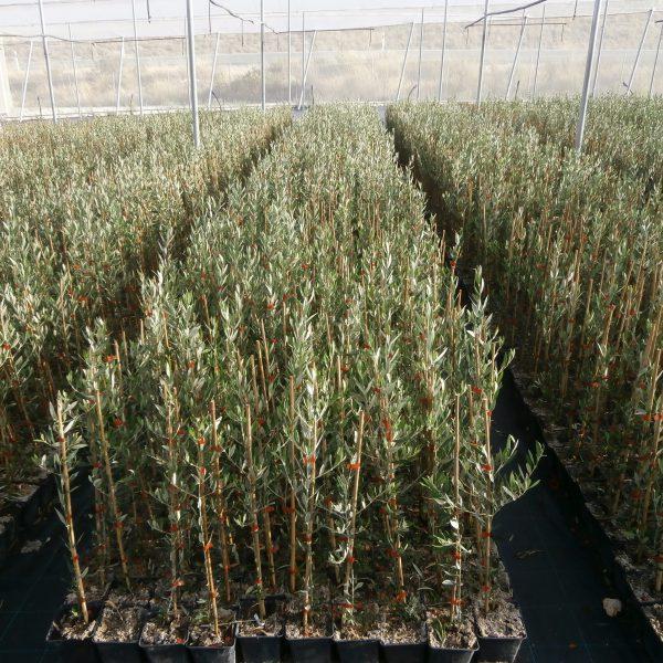 Invernadero de olivo cultivado al exterior en octubre de 2016.